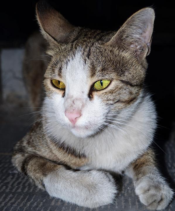 گربهي با وقار